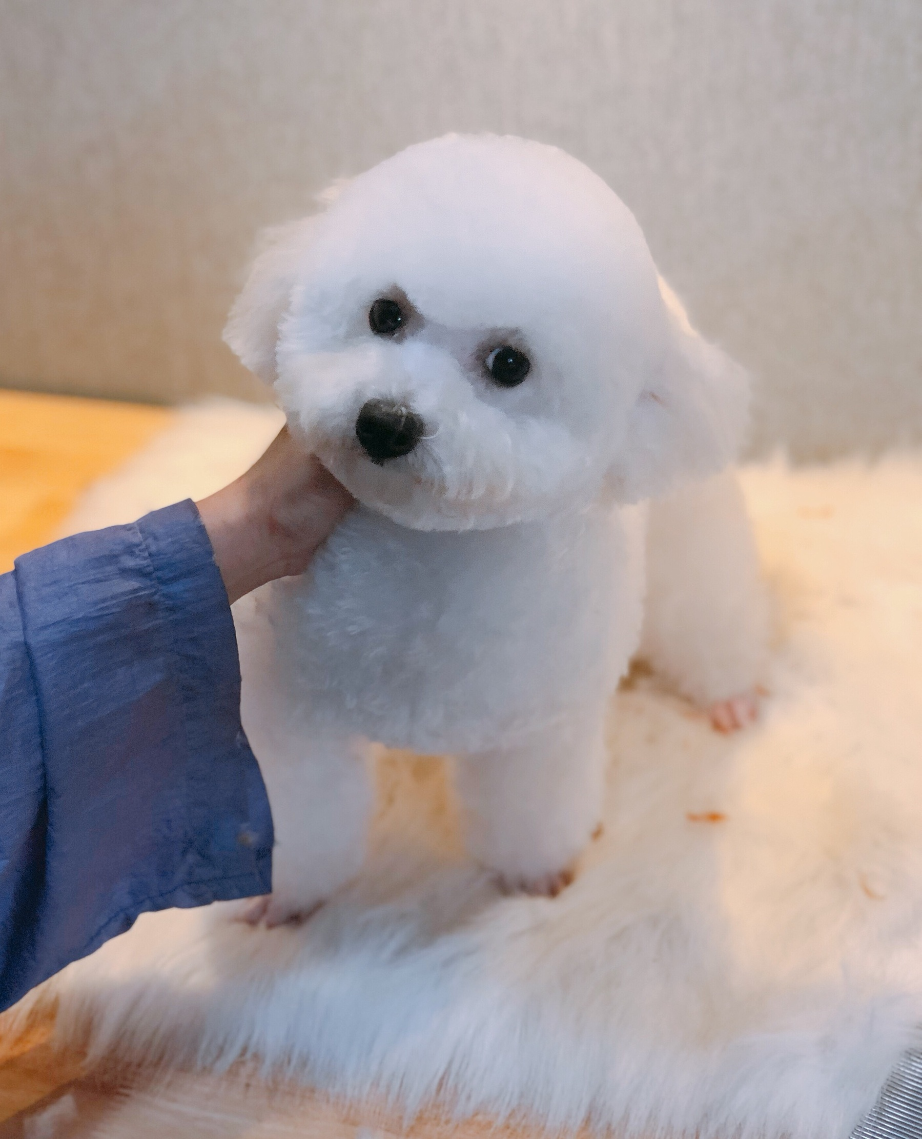 Cắt tỉa lông chó Poodle Trắng Pet Nha Trang