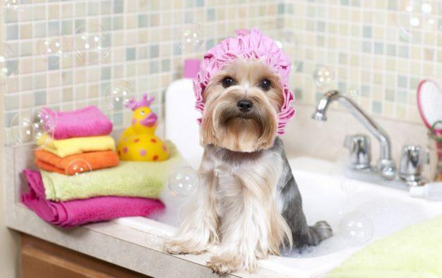 Tắm cắt tỉa lông chó - Pet Nha Trang