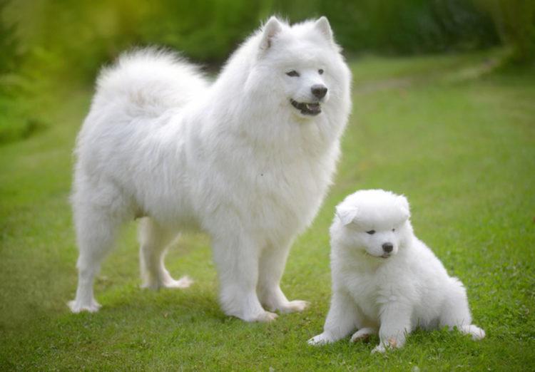 10 giống chó đắt nhất