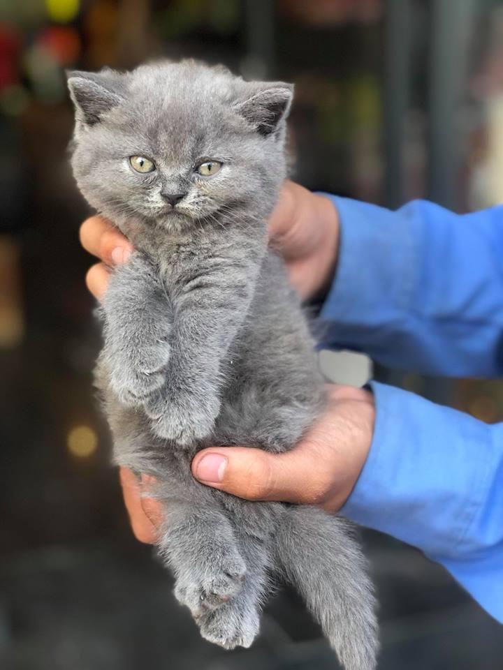 Mèo Anh Lông Ngắn xám tai thẳng