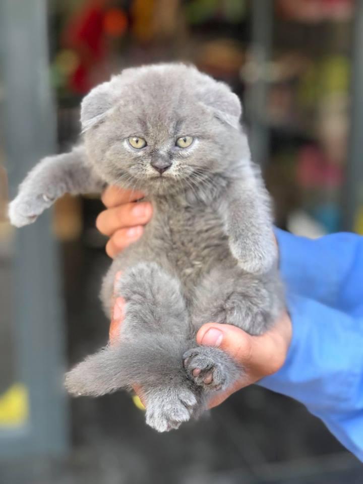 Mèo Anh Lông Ngắn xám tai cụp