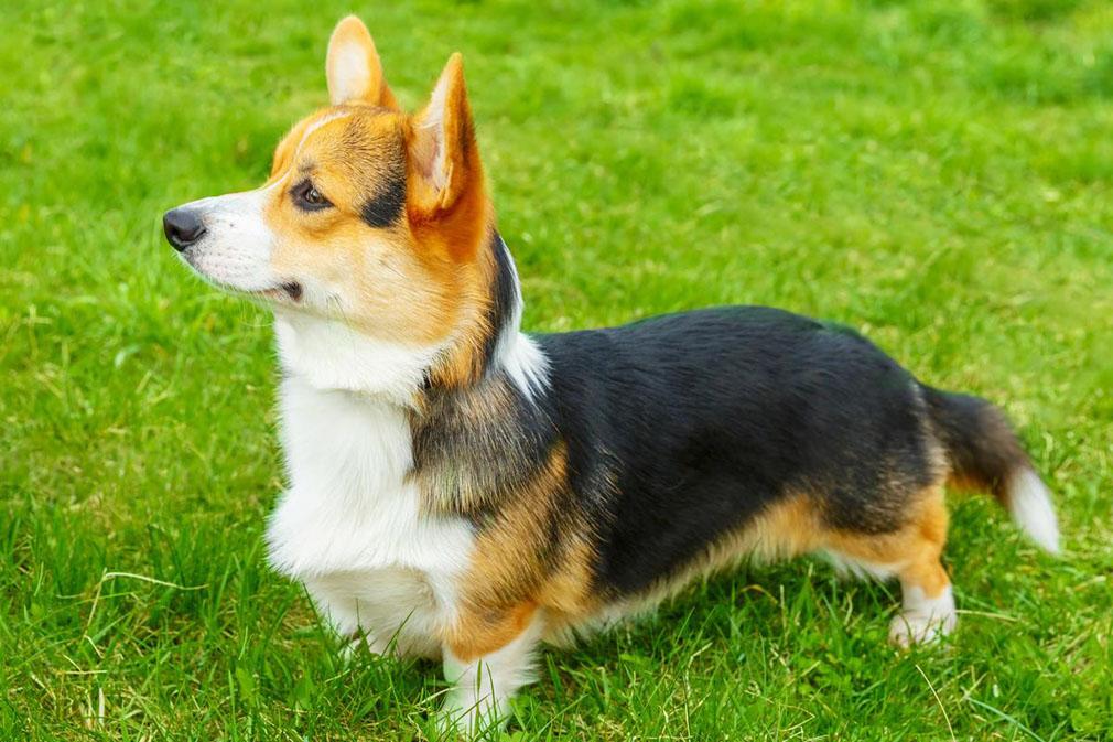 phân biệt chó Pembroke Corgi và Cardigan Corgi