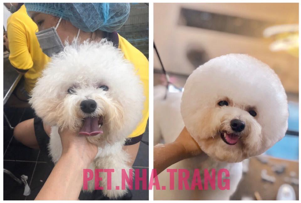 Spa và cắt tỉa lông Chó Poodle trắng Pet Nha Trang