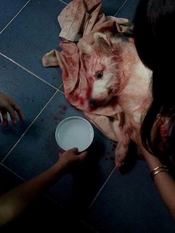 Chó bị sốc nhiệt Pet Nha Trang