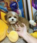 Bán siêu phẩm Poodle màu Party Nâu đỏ Pet Nha Trang