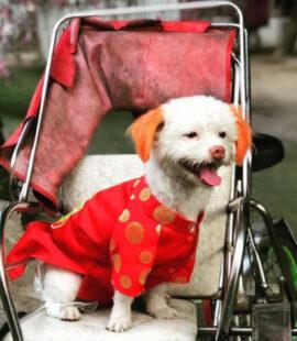 Áo dài ngày Tết chó, mèo Pet Nha Trang