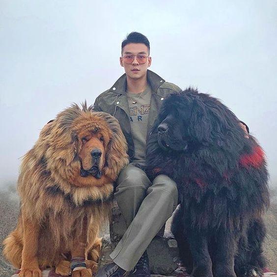 tibetan mastiff ngao tay tan pet nha trang 5