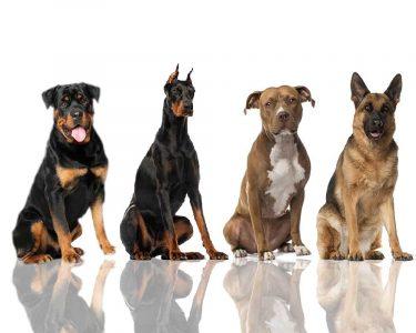 13 giống chó làm việc nhà nổi tiếng nhất thế giới