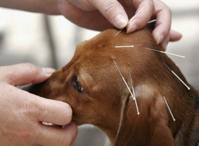 Một số huyệt thường dùng khi châm cứu cho chó mèo