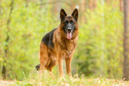 Giống chó Becgie Đức GSD: thông minh số 1 thế giới